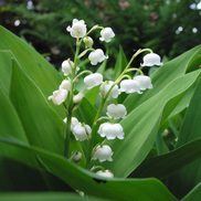Le Jardin M'a Dit, du muguet pour le 1er mai